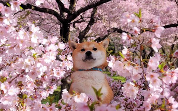 09.満開の桜を見て楽しそうな豆柴を撮影した可愛い写真壁紙画像