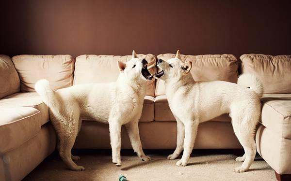 10.仲の良さそうな二匹の柴犬を撮影した可愛い写真壁紙画像