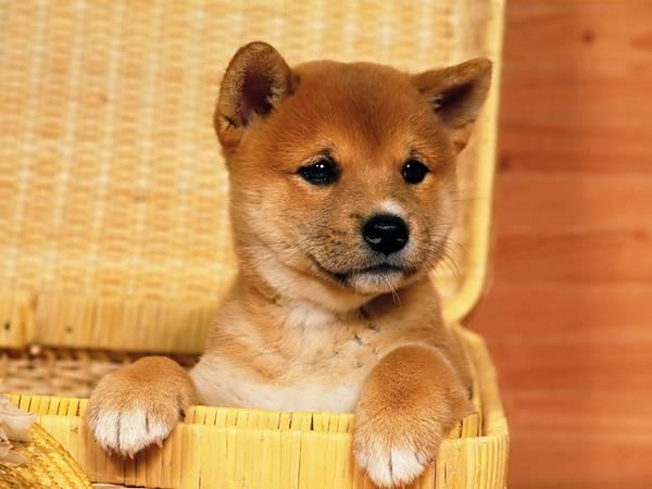 12.カゴに入った柴犬の赤ちゃんを撮影した可愛い写真壁紙画像