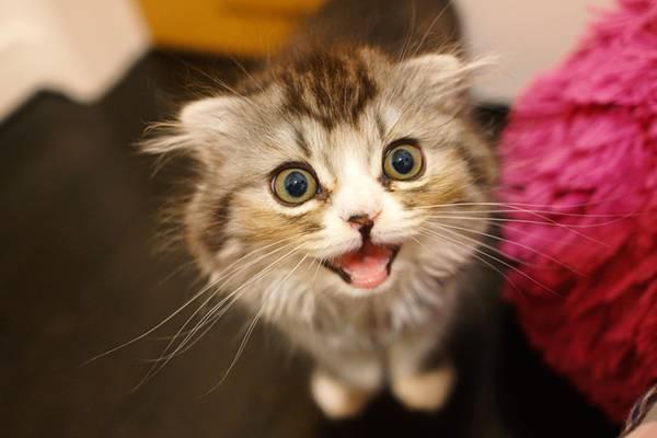 ミャーと鳴いてるオス猫(スコティッシュフォールド)
