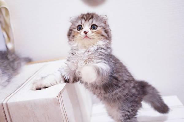 ねこじゃらしで遊ぶオス猫(スコティッシュフォールド)