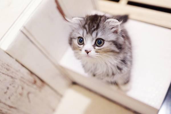 上を見つめるオス猫(スコティッシュフォールド)
