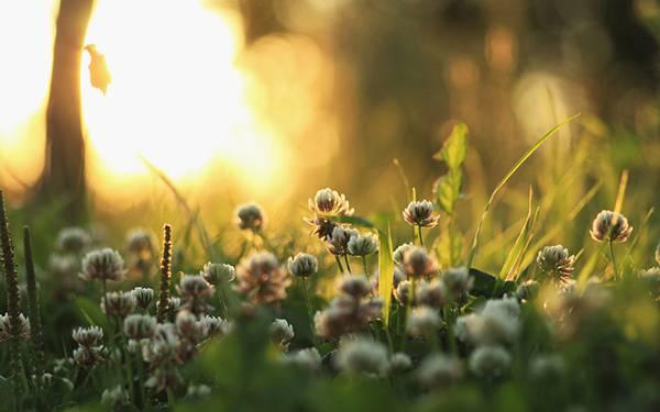 01.夕日の中のクローバーの花を撮影した可愛い写真壁紙画像