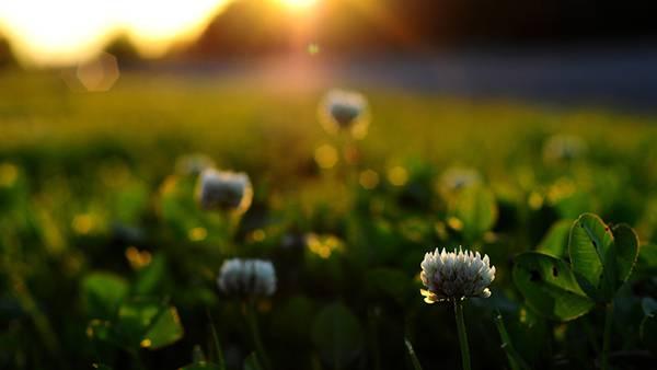 02.夕日に照らされたクローバーの花を撮影した綺麗な写真壁紙画像