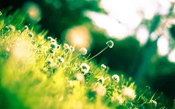 03.クローバーの花をローアングルで撮影した綺麗な写真壁紙画像