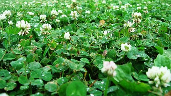 04.一面のクローバーの花と葉を撮影した綺麗な写真壁紙画像