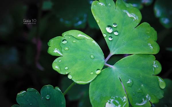07.雨粒の乗った四つ葉のクローバーの写真壁紙画像