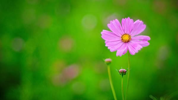 01.緑の背景に紫色のコスモスが映える綺麗な写真壁紙画像