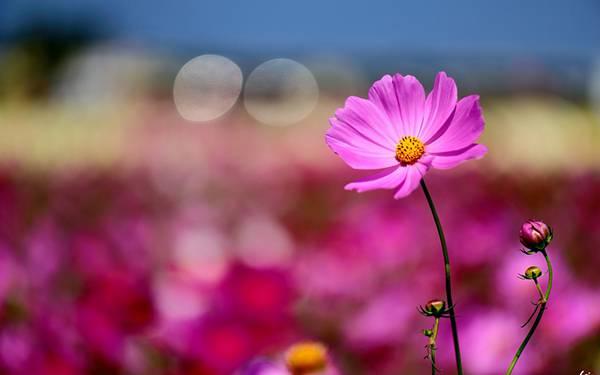 02.鮮やかな紫色のコスモスの花を撮影した綺麗な写真壁紙画像