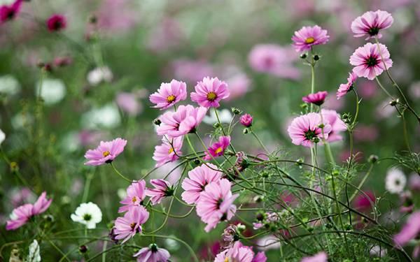 03.たくさんのコスモスの花を撮影した可愛い写真壁紙画像