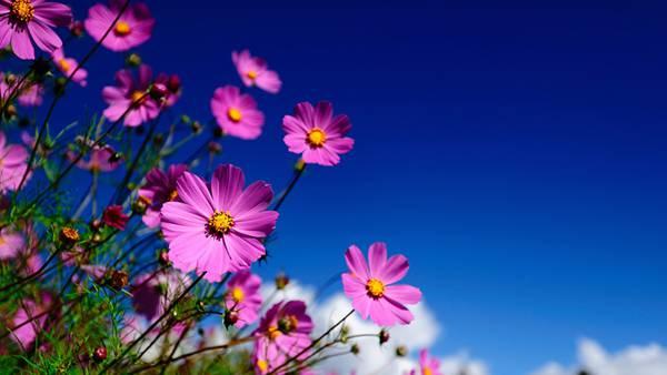 04.青空をバックにコスモスの花を撮影した鮮やかな写真壁紙画像