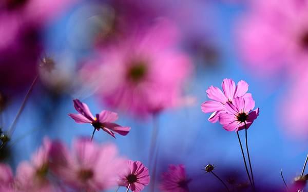 05.青空とコスモスの花を美しいボケで撮影した写真壁紙画像