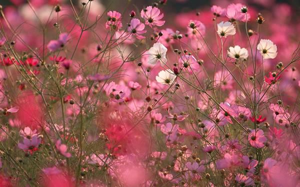 06.白とピンクのコスモスの花を撮影した綺麗な写真壁紙画像