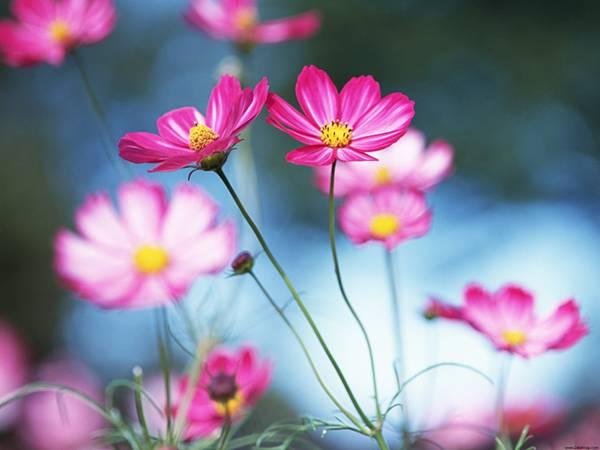 07.コスモスの花を美しいボケで撮影した写真壁紙画像