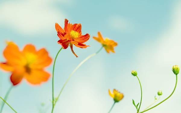 08.オレンジ色のコスモスの花を撮影したレトロな雰囲気の写真壁紙画像