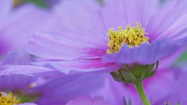 09.コスモスの花をマクロ撮影した綺麗な写真壁紙画像