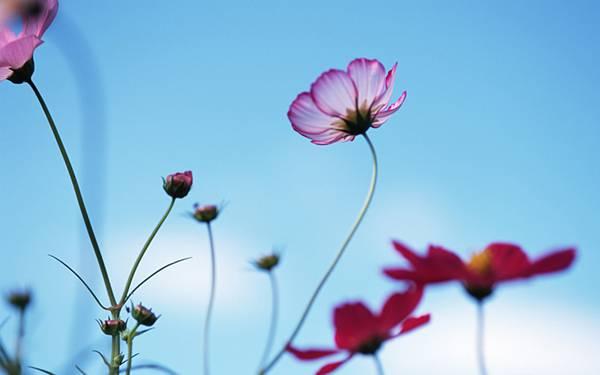 10.青空と細い茎のコスモスを撮影した繊細な雰囲気の写真壁紙