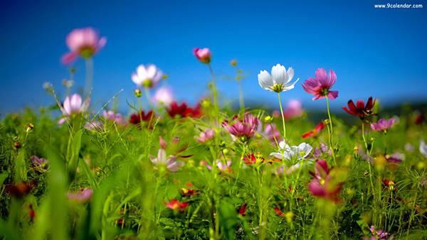 11.花畑のコスモスを撮影した綺麗な写真壁紙画像