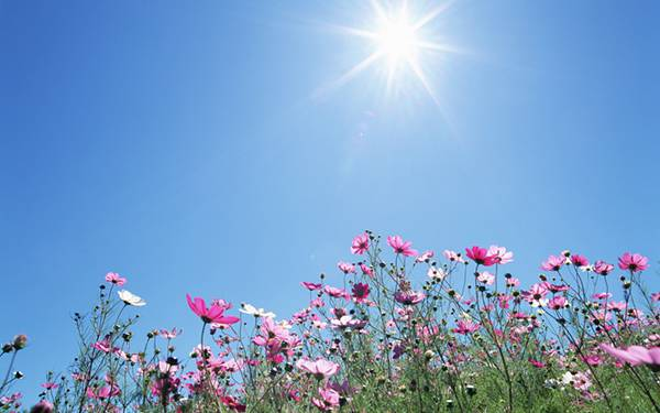 12.花畑のコスモスと太陽を撮影した綺麗な写真壁紙画像