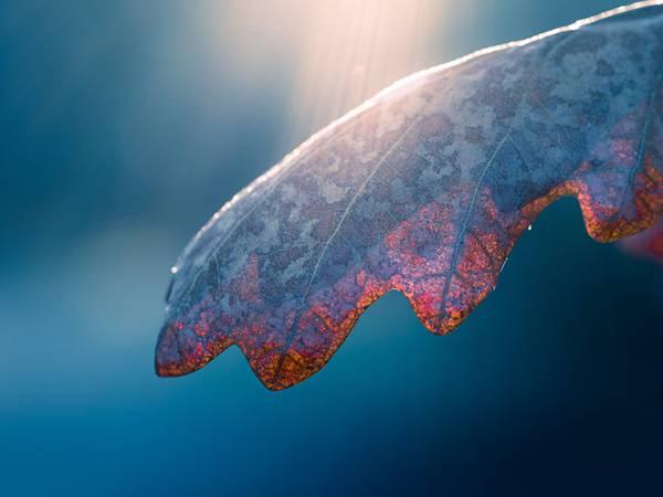 02.光を通して葉脈の透ける葉を撮影した美しい写真壁紙画像