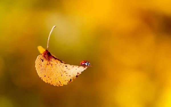 03.落下する落ち葉の上に乗ったテントウムシの可愛い写真壁紙画像