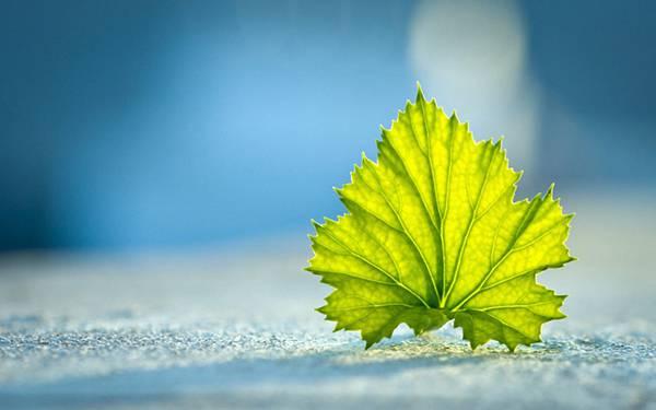 05.鮮やかなグリーンのモミジの葉の美しい写真壁紙画像
