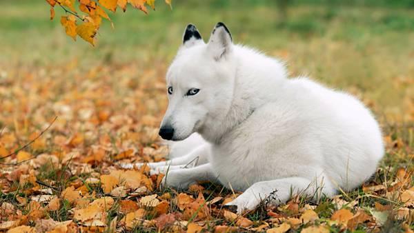 11.落ち葉の上に座り込んだハスキー犬のカッコイイ写真壁紙画像
