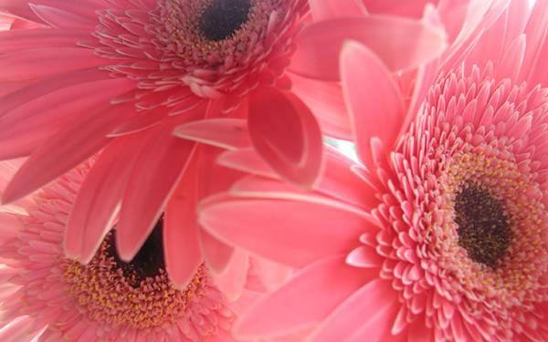 01.ひしめき合うピンクのガーベラを撮影した美しい写真壁紙画像
