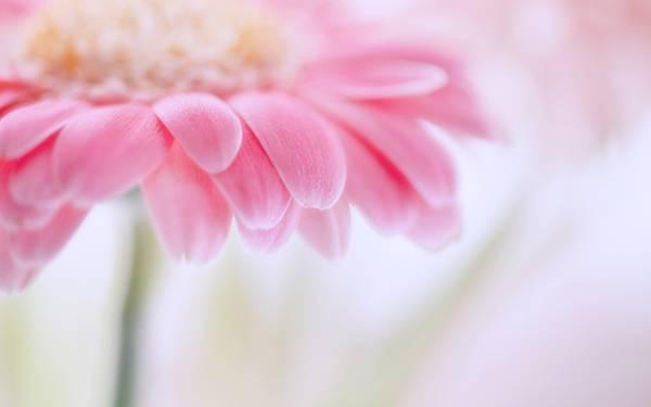02.明るいピンクのガーベラの花びらをアップで撮影した綺麗な写真壁紙