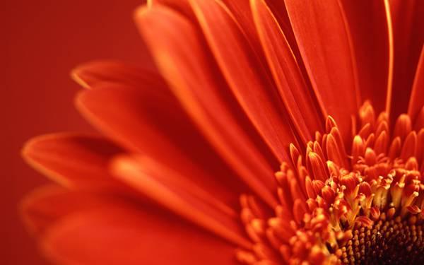 03.鮮やかなオレンジ色のガーベラを撮影した美しい写真壁紙画像