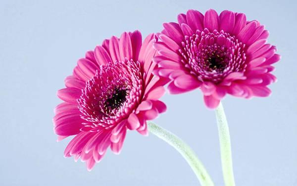 04.紫色の二輪のガーベラの花を撮影した写真壁紙画像