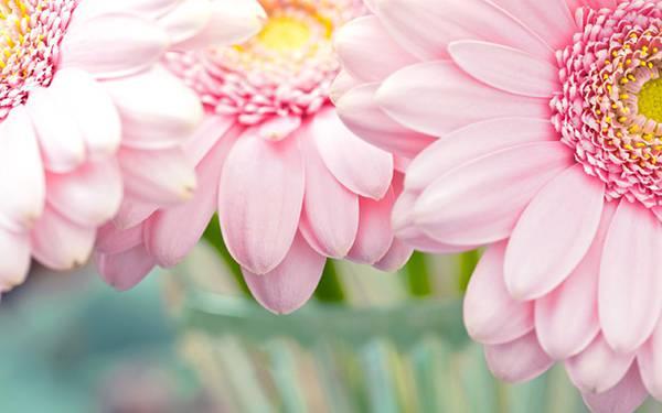 05.淡いピンクのガーベラを撮影した綺麗な写真壁紙画像