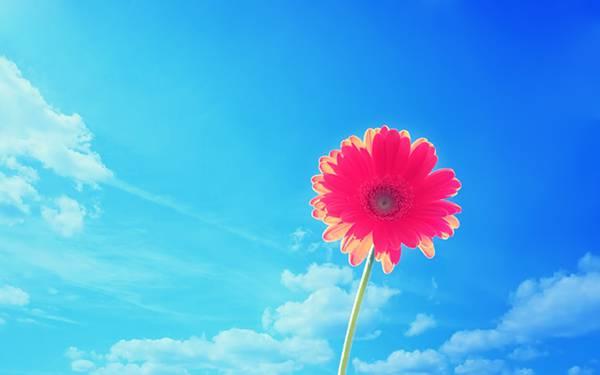 06.青空をバックにガーベラの花を撮影した鮮やかな写真壁紙画像