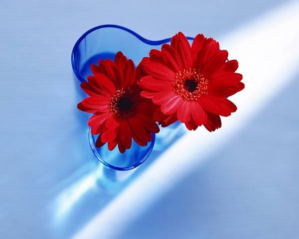 08.青い花瓶に挿した真っ赤なガーベラの美しい写真壁紙画像