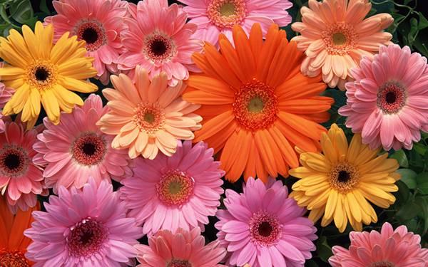 09.いろんなガーベラの花を並べて撮影した可愛い写真壁紙画像