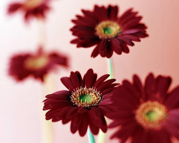 11.深い紫色のガーベラを撮影した綺麗な写真壁紙画像