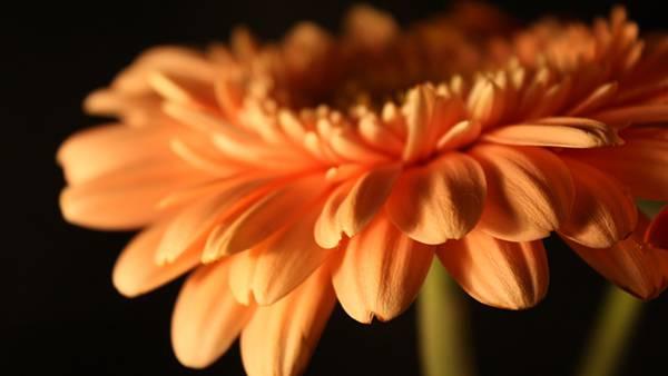 12.サーモンピンクのガーベラの花を撮影した綺麗な写真壁紙画像