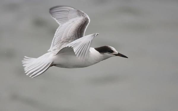 11.翼を広げて飛ぶ白とグレーのカモメのカッコイイ写真壁紙画像