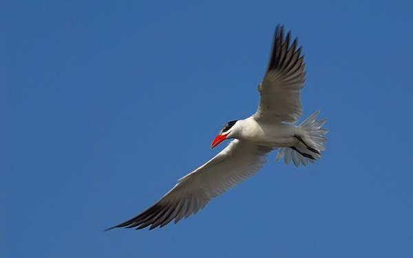12.翼を羽ばたかせて青空を飛ぶカモメのカッコイイ写真壁紙画像