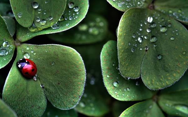 06.葉の上の雫とてんとう虫を撮影した綺麗なHDR写真壁紙画像