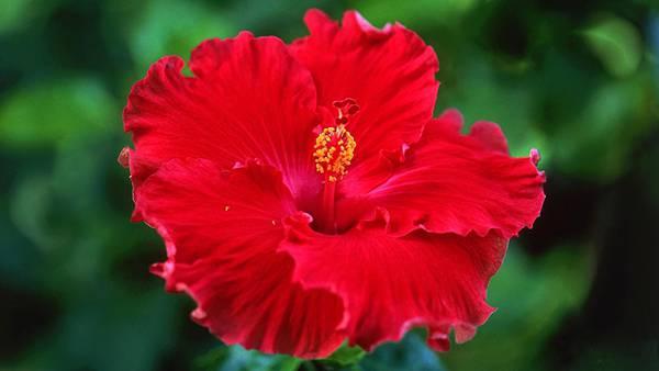 01.真っ赤なハイビスカスの花をアップで撮影した綺麗な写真壁紙画像
