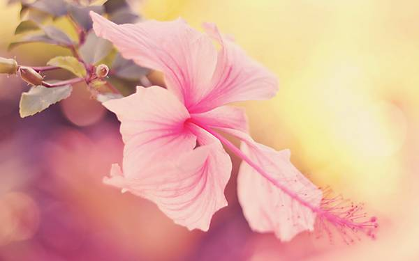 02.ピンク色のハイビスカスを淡い雰囲気の色調で撮影した写真壁紙画像