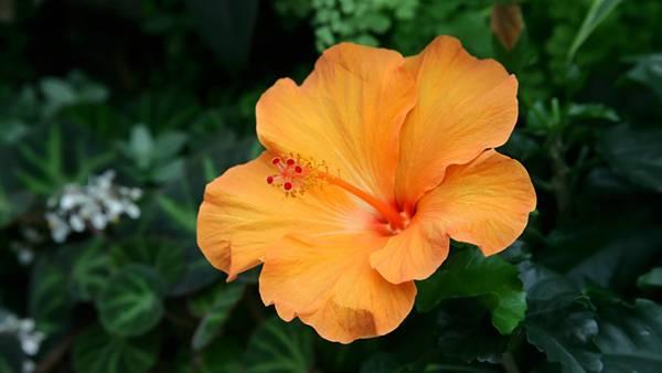 07.オレンジ色のハイビスカスを撮影した綺麗な写真壁紙画像