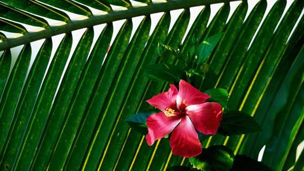 08.ハイビスカスの花と葉を撮影した美しい写真壁紙画像
