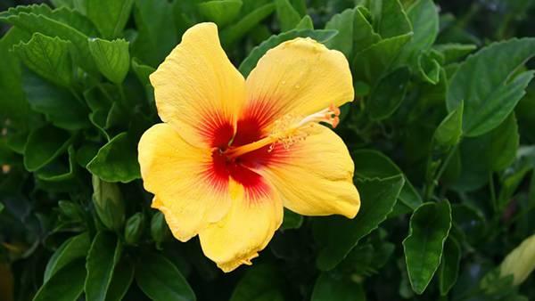 11.黄色いハイビスカスの花を撮影した可愛い写真壁紙画像