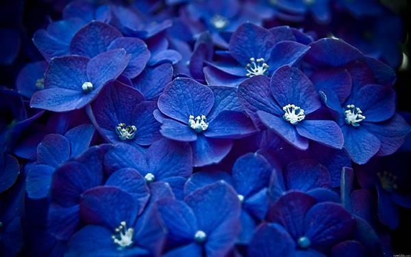 01.青紫色の紫陽花を撮影した美しい写真壁紙画像
