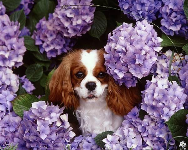 02.紫陽花の中から顔を覗かせる犬の可愛い写真壁紙画像