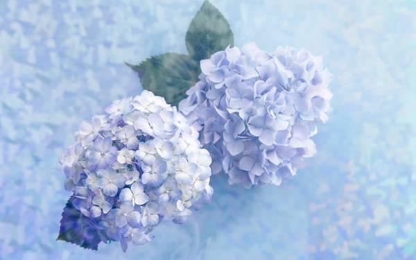 03.淡い紫色の紫陽花を撮影した綺麗な写真壁紙画像