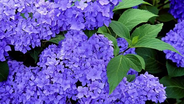 04.紫陽花の花と葉を撮影した美しい写真壁紙画像