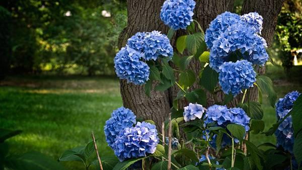 06.アジサイの花と木を撮影した綺麗な写真壁紙画像